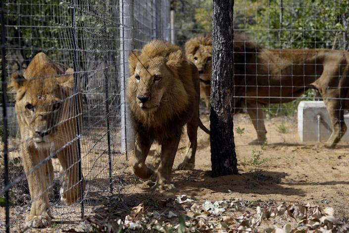 <p>Former circus lions walk inside enclosures at Emoya Big Cat Sanctuary in Vaalwater, South Africa, on May 1, 2016. <i>(Themba Hadebe/AP)</i></p>