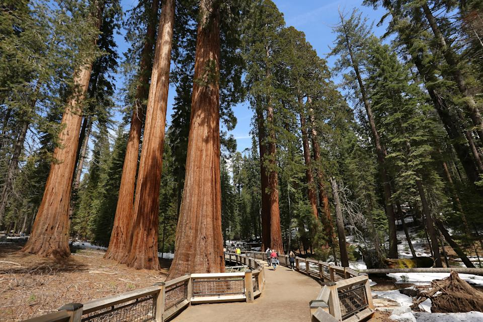 11. The world's oldest trees, found in the United States, are more than 4,600-5,000 years old.
