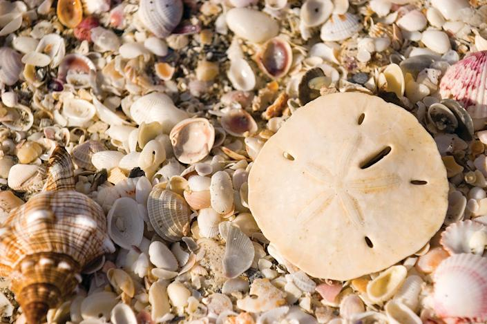 """The Gulf Coast island near Fort Myers benefits from its east-west orientation. """"People think it catches shells differently,"""" Burgard says."""