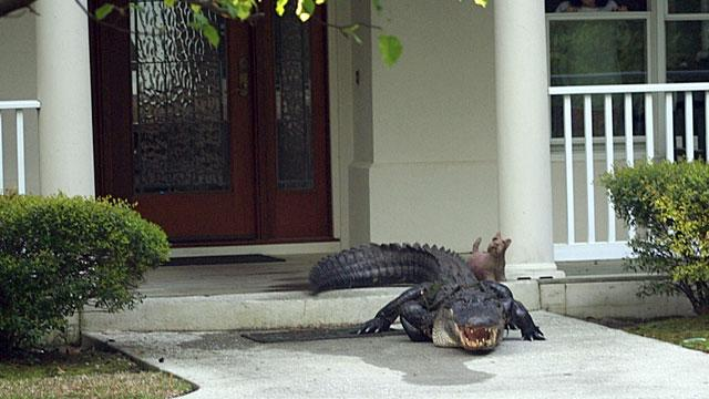 Couple Greeted by 12-Foot Alligator on Front Porch