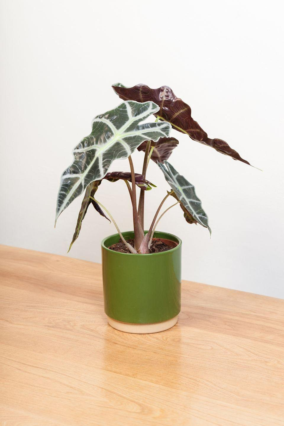 "<p>Also known as 'elephant's ears', this indoor plant loves humidity and bright, indirect light. It won't do well in a windowless bathroom but will bring pattern and waxy texture to a bathroom with natural light. </p><p><a class=""link rapid-noclick-resp"" href=""https://go.redirectingat.com?id=127X1599956&url=https%3A%2F%2Fwww.crocus.co.uk%2Fplants%2F_%2Falocasia--amazonica-polly%2Fclassid.2000027731%2F&sref=https%3A%2F%2Fwww.countryliving.com%2Fuk%2Fhomes-interiors%2Finteriors%2Fg33454786%2Fbathroom-plants%2F"" rel=""nofollow noopener"" target=""_blank"" data-ylk=""slk:BUY NOW"">BUY NOW</a></p>"