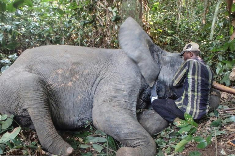 Gabon boasted 45,000 elephants a decade ago, the biggest forest population in central Africa but has since lost 15,000 to poaching