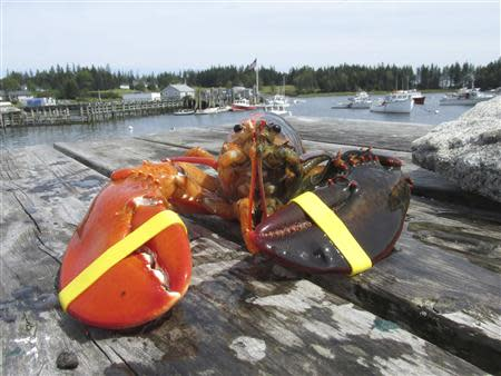 REFILE - CORRECTING BYLINE An extremely rare, two-toned, half-orange, half-brown lobster caught off the coast of Maine is pictured in this undated handout photo. REUTERS/Elsie Mason/Ship to Shore Lobster Co./Handout