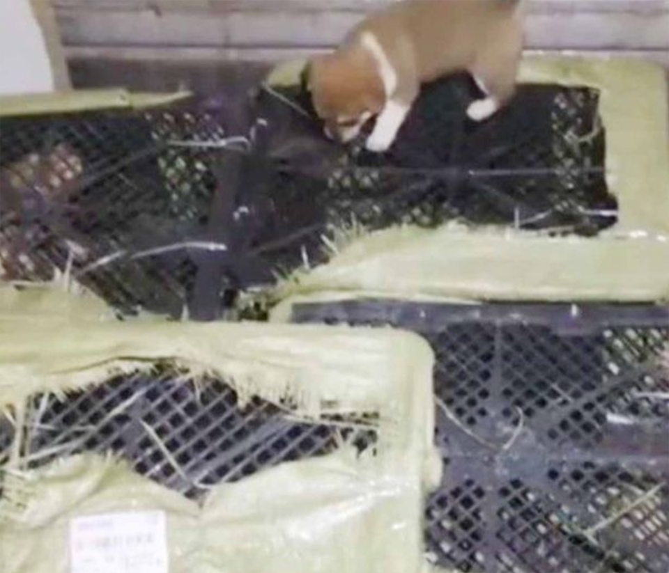 Puppy on crate in truck intercepted by animal rescue group in China.