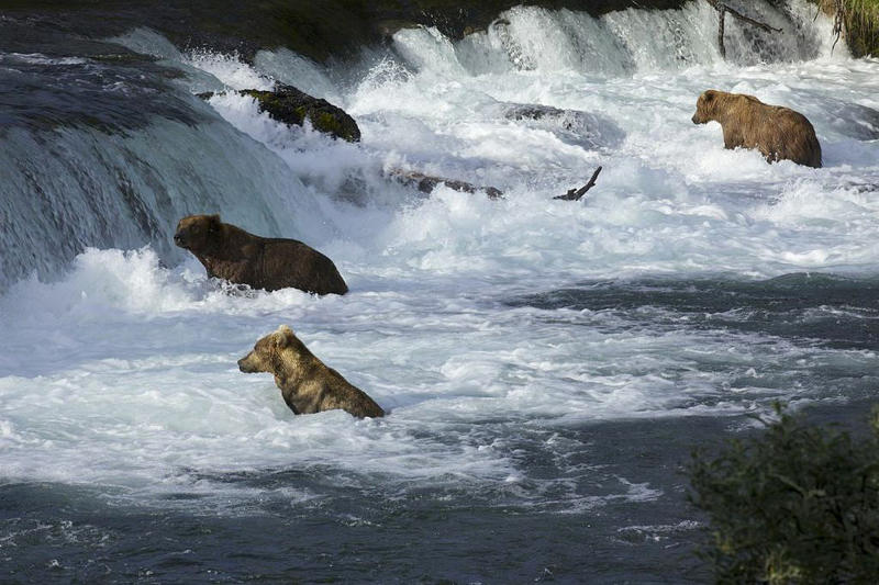 In this July 2012 photo provided by Roy Wood and explore.org, a group of bears are seen at Brooks Camp in Katmai National Park and Preserve, Alaska. The stars of a widely popular Internet series are ready for their second season. The stars in this show are the grizzly bears of Katmai National Park, and they will be coming to a small screen near you with more cameras and different angles as they fight to get a bounty of salmon before winter sets in. (AP Photo/Roy Wood and explore.org)