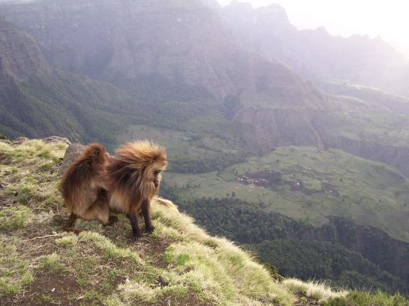 A relaxed gelada male stares down over the cliff edge as one of his many females grooms him. Down below, over a hundred gelada monkeys are slowly making their way to the top of the plateau in Ethiopia's Simien Mountains National Park.
