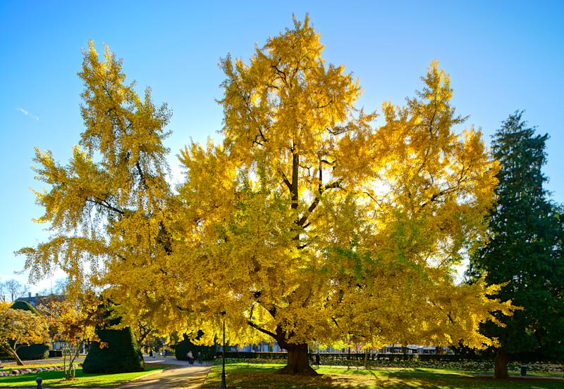 Huge ginkgo tree known as Goethe tree with yellow leaves, Republic square in Strasbourg, panoramic view, France