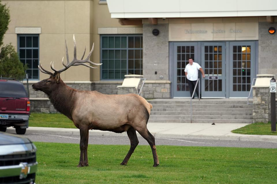 A bull elk pauses in front of the federal courthouse at Mammoth Hot Springs inside Yellowstone National Park.