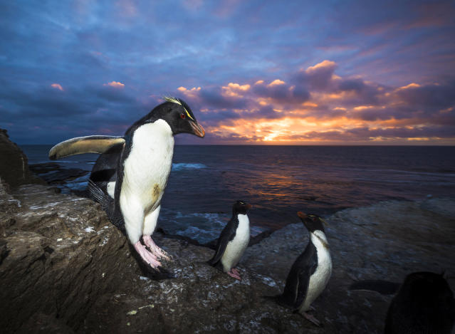 <p>King penguins walking on rocks, Falkland Islands. (Photo: Wim van den Heever/Caters News) </p>