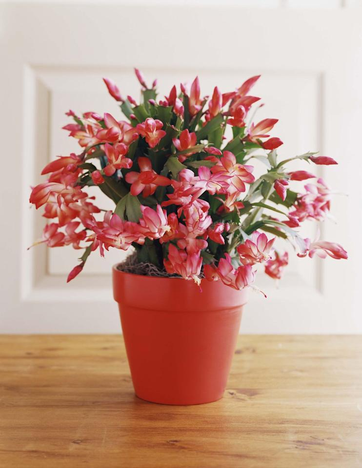 "<p>With proper care, the bright pink blooms of a Christmas cactus will return year after year during the holiday season. A Christmas cactus prefers a humid climate and requires more watering than other types.  </p><p>Here's <a href=""https://www.countryliving.com/gardening/a23320047/christmas-cactus/"" target=""_blank"">everything you need to know about the holiday plant</a>.</p>"