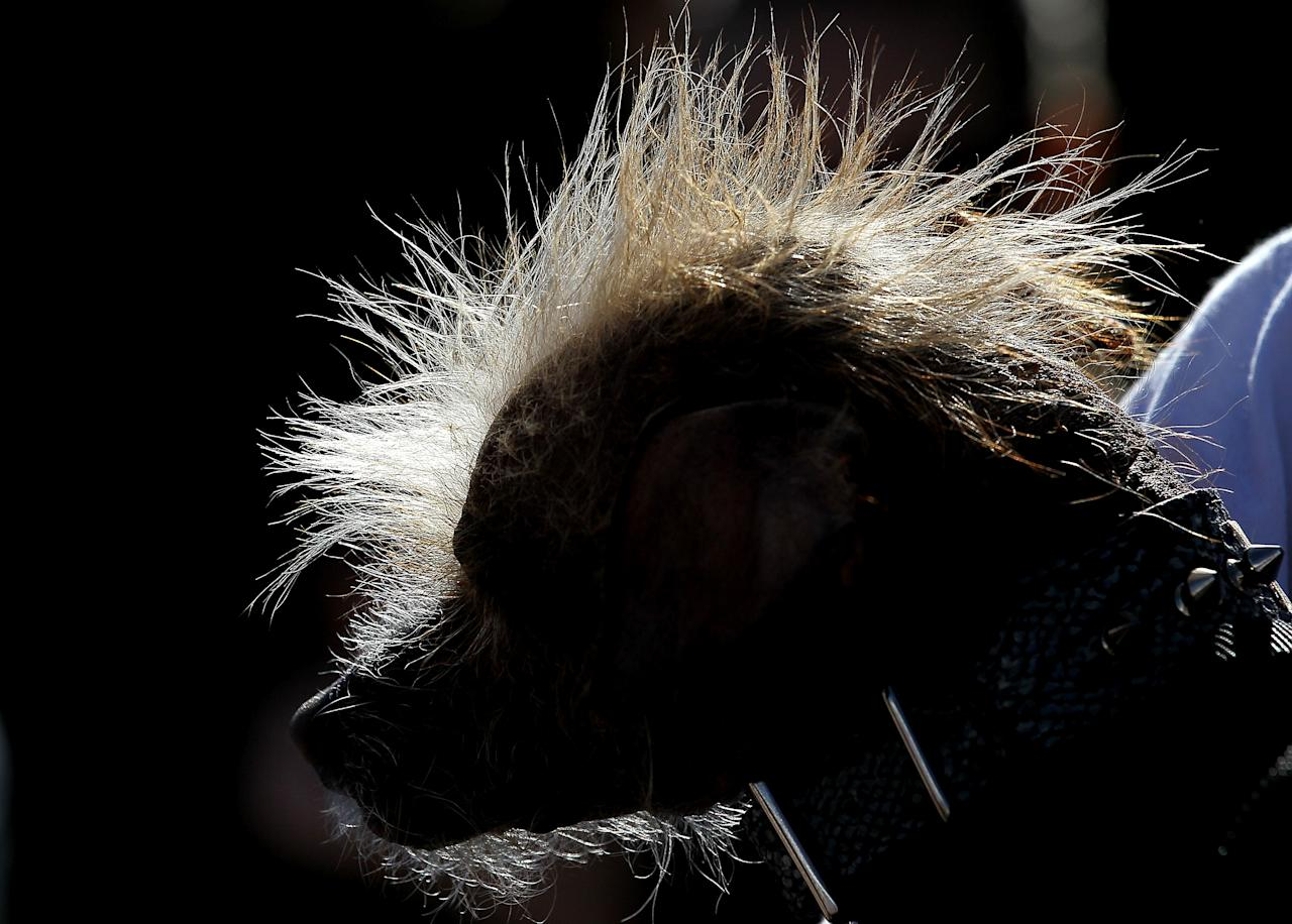 PETALUMA, CA - JUNE 24:  The hair of a Chinese Crested dog is seen lit by the sun during the 23rd Annual World's Ugliest Dog Contest at the Sonoma-Marin County Fair on June 24, 2011 in Petaluma, California.  Yoda won the $1,000 top prize as the world's ugliest dog.  (Photo by Justin Sullivan/Getty Images)