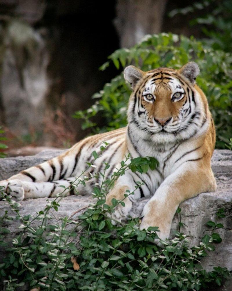 A female Amur tiger at the zoo where the author works. It's estimated that only 350-450 Amur tigers survive in the wild. (Photo: Courtesy of Megan Turner)