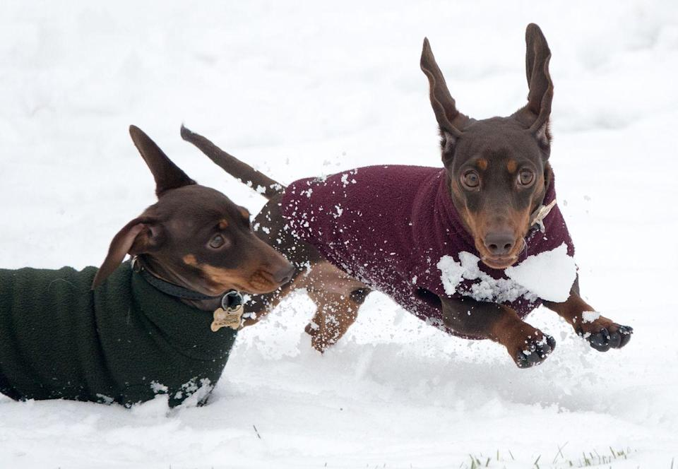 <p>We don't blame these two little chaps for needing a jumper. Two dachshund dogs play in Bath. </p>
