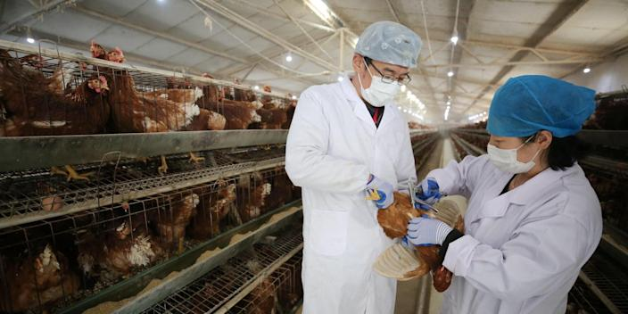 Staff wearing face masks vaccinate for chickens at a chicken farm amid novel coronavirus spread in China on March 5.
