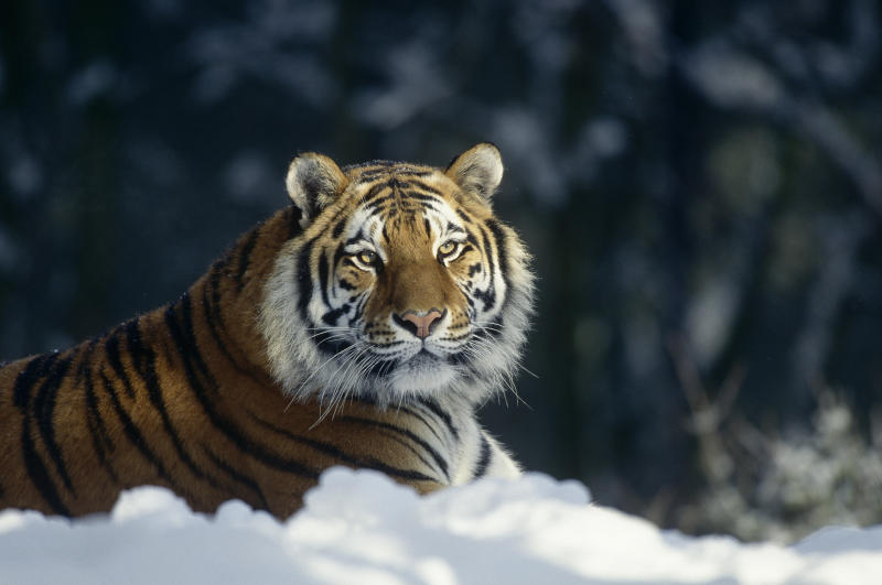 A Siberian tiger - Credit: Getty