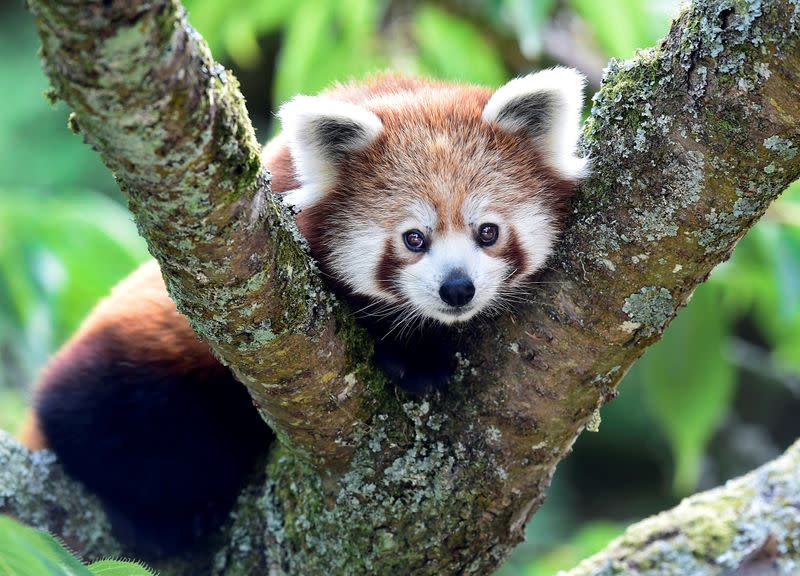 There are 2 different species of red pandas, genetic study shows