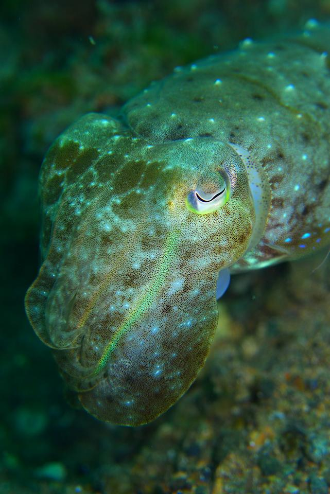 Cuttlefish, like this one photographed at Anilao, Philippines, change colours like a laser light and squirt black ink when they are threatened.