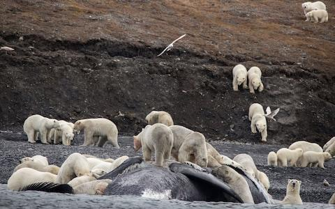 Bears gather around a whale carcass on Russia's Wrangel island last year - Credit: Max Stephenson/AFP