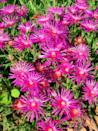 "<p>Delosperma, also known as <a href=""https://www.countryliving.com/gardening/garden-ideas/a35194773/ice-plant-care/"" rel=""nofollow noopener"" target=""_blank"" data-ylk=""slk:ice plant"" class=""link rapid-noclick-resp"">ice plant</a>, is a hardy perennial that blooms from spring to frost. Its low-growing habit makes it a natural to control erosion on hillsides, and pollinators love it! Incidentally, it's not the same plant as the invasive species, <em>Carpobrotus</em>, also called ice plant.</p><p><a class=""link rapid-noclick-resp"" href=""https://www.amazon.com/Perennial-Farm-Marketplace-Delosperma-Spinner/dp/B07L9VZZC4/ref=sr_1_2?crid=1ABLXTMW8TJNN&dchild=1&keywords=delosperma+ice+plant&qid=1611100502&sprefix=delososperma%2Caps%2C330&sr=8-2&tag=syn-yahoo-20&ascsubtag=%5Bartid%7C10063.g.35370706%5Bsrc%7Cyahoo-us"" rel=""nofollow noopener"" target=""_blank"" data-ylk=""slk:SHOP DELOSPERMA"">SHOP DELOSPERMA</a></p>"