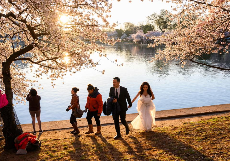 A bride and groom take part in a photo shoot under cherry blossom trees. (Photo: ANDREW CABALLERO-REYNOLDS/AFP via Getty Images)