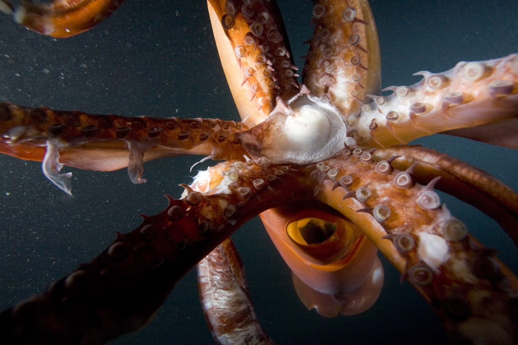 <b>Humboldt Squid</b> (Dosidicus gigas)<br>Sea of Cortez, California, USA<br><br>Humboldt squid are so aggressive, Mexican fishermen nicknamed them diablos rojos, or red devils. They will blast ink and shoot out of the water to escape a predator.
