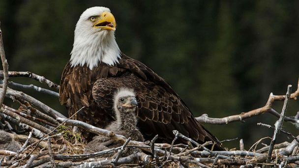 PHOTO: A bald eagle sits in a nest in this stock photo. (STOCK PHOTO/Getty Images)