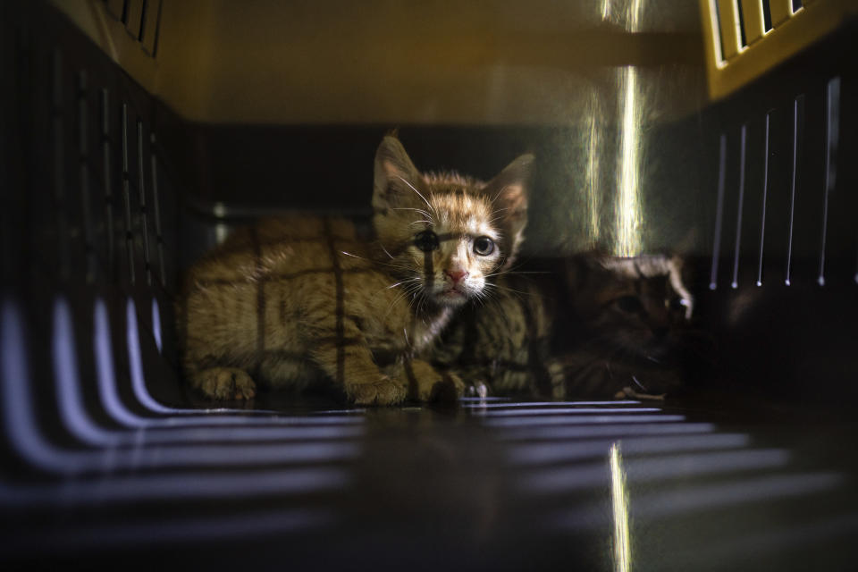 Two kittens that were hiding among debris of a damaged building near the site of last week's massive explosion sit in a cage after being rescued by members of Animals Lebanon in Beirut, Lebanon, Thursday, Aug. 13, 2020. The volunteers say they have happily reunited dozens of pets with their owners. But many others remain in the group's shelter, waiting for their owners to pick them up or locate them. (AP Photo/Felipe Dana)
