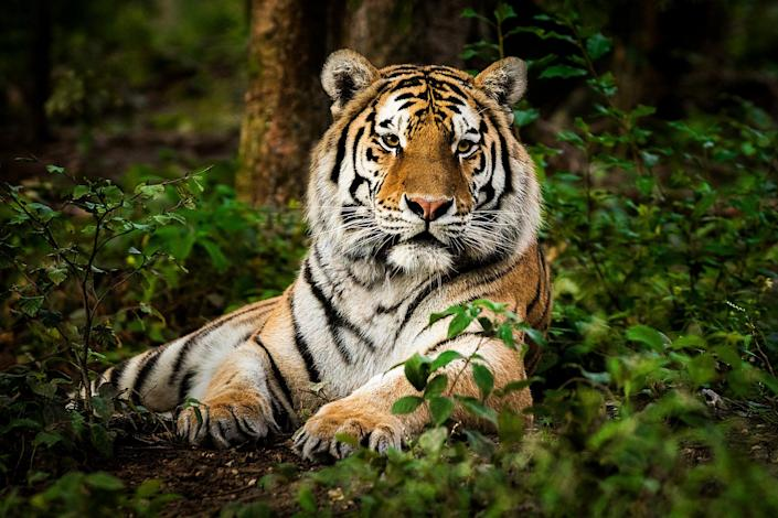 A sheriff's deputy spotted a tiger on the loose in East Tennessee, prompting a huge search for the animal (Getty Images)