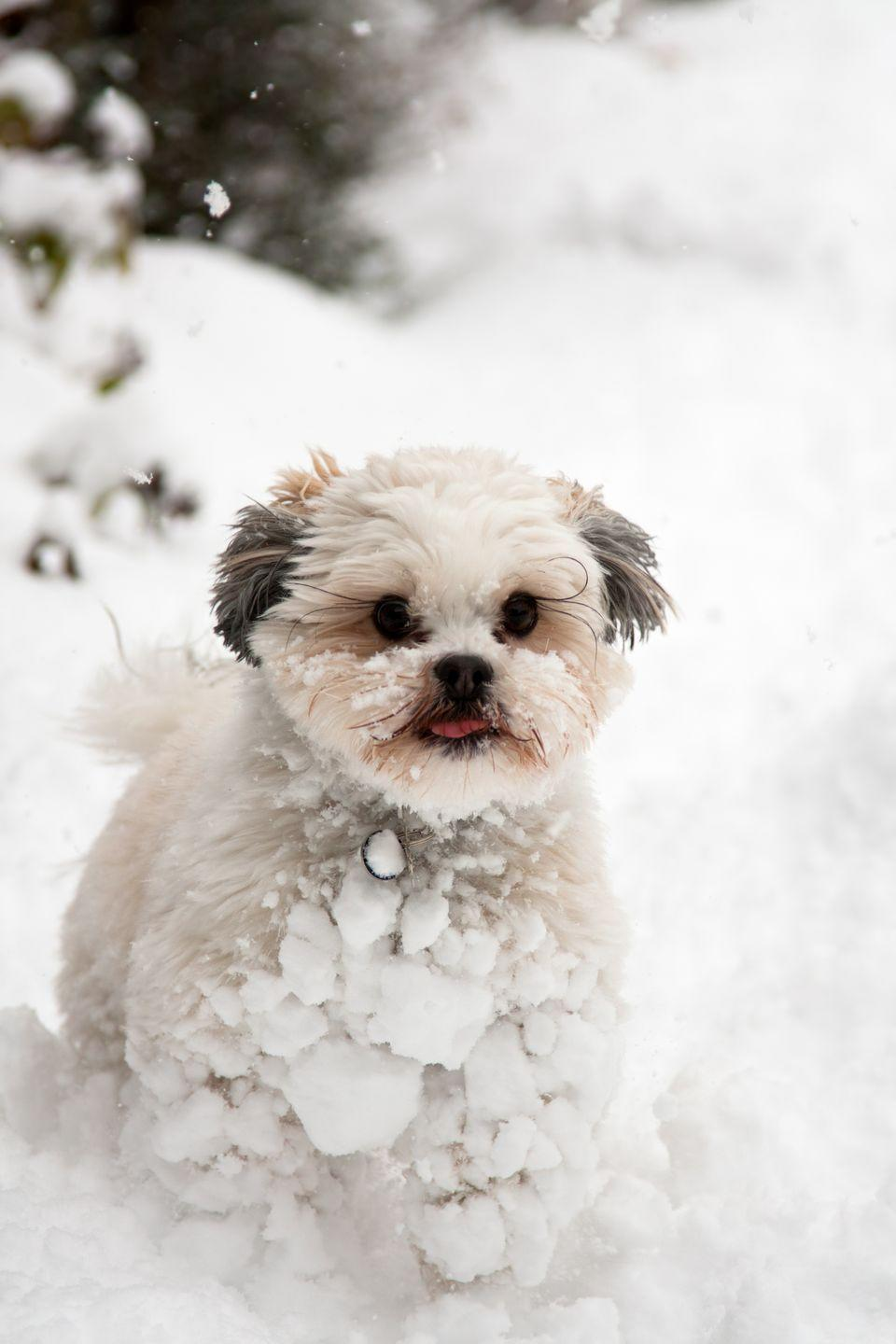 """<p>Originally, the Lhasa Apso was bred to serve as guard dogs at monasteries and palaces in the heights of the Himalayas. This <a href=""""https://www.goodhousekeeping.com/life/pets/advice/g1754/small-dog-breeds/?slide=15"""" rel=""""nofollow noopener"""" target=""""_blank"""" data-ylk=""""slk:small breed"""" class=""""link rapid-noclick-resp"""">small breed</a><span class=""""redactor-invisible-space""""> l</span>oves brisk walks and clowning around, so lots of Lhasa owners keep their full-grown pets in the shorter, trimmer """"puppy cut"""" to keep trimming minimal. It reduces grooming time on the otherwise fluffy furballs, but they look beautiful if you leave their luxurious fur longer, too. </p>"""