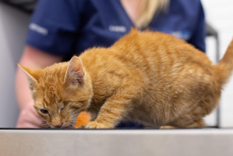 Kitten adopted by life-saving vet after being shot in the eye
