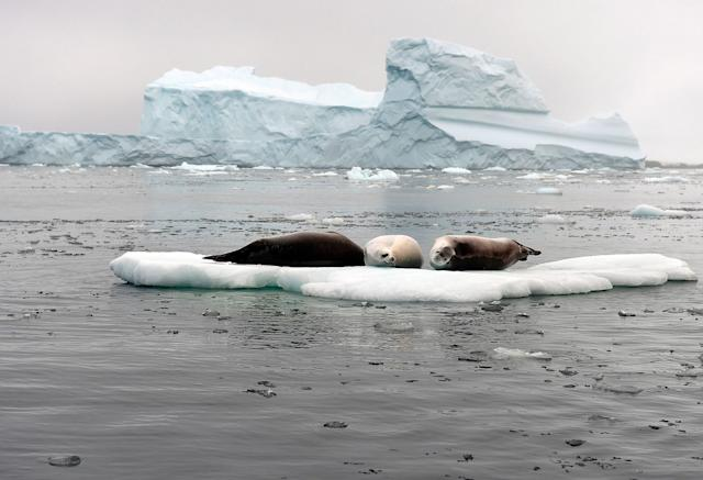 <p>Seals rest on an ice floe near Winter Island, Antarctica, on March 2, 2016. (Photo: Eitan Abramovich/AFP/Getty Images) </p>