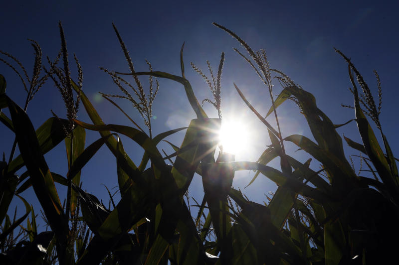 In this Aug. 28, 2013, photo the sun shines through corn growing in a field near Oregon, Mo. A growing season that began unusually wet and cold in the Midwest is finishing hot and dry, renewing worries of drought and the impact it may have on crops according to the weekly U.S. Drought Monitor report released Thursday, Aug. 29, 2013, by the University of Nebraska at Lincoln. (AP Photo/Orlin Wagner)