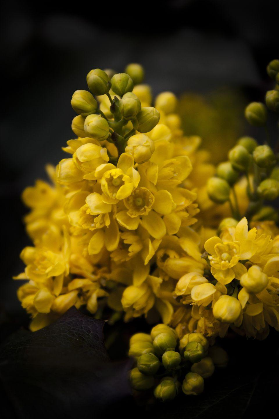 """<p>The <a href=""""https://statesymbolsusa.org/symbol-official-item/oregon/state-flower/oregon-grape"""" rel=""""nofollow noopener"""" target=""""_blank"""" data-ylk=""""slk:Oregon grape"""" class=""""link rapid-noclick-resp"""">Oregon grape</a> has tiny, yellow flowers and bears a bitter, blue fruit. Hey, at least it can be used medicinally.</p>"""