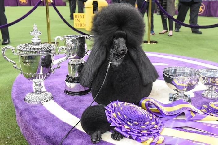 """Standard poodle """"Siba"""" sits in the winner's circle after winning Best in Show during the annual Westminster Kennel Club dog show on February 11, 2020,"""