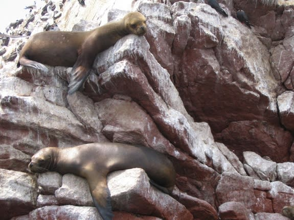 Sea lions may have transmitted tuberculosis to people in the early Americas.
