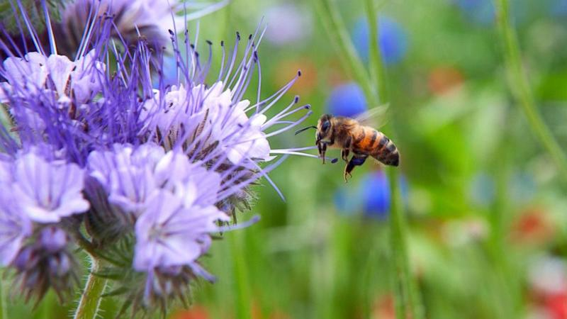 Bee-Friendly Gardeners May Accidentally Poison Their Bees, Study Says