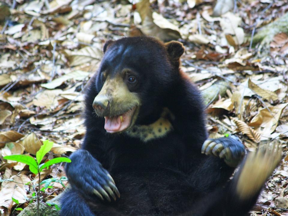 Sun Bears can exactly mimic another bear's facial expressions: PA
