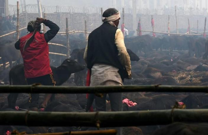 An estimated 200,000 animals ranging from goats to rats were butchered during the last two-day Gadhimai Festival in 2014 (AFP Photo/Prakash MATHEMA)