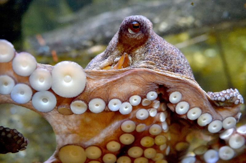 Researchers found the octopus' impressive suction power was thanks to small balls inside the suction cups that line each of their tentacles
