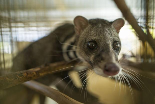 Civet cats are another animal which can be found kept as pets by local natives. ― Picture courtesy of Scubazoo
