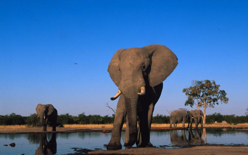 Adult bulls drinking at water hole Sub-Sarahan Africa.