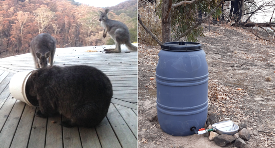 Split screen. Left - Two wallabies and a wombat eat on a deck. A burnt forest in the background. The wombat has its head in a bucket. Right - a barrel forms part of a watering station in the forest.