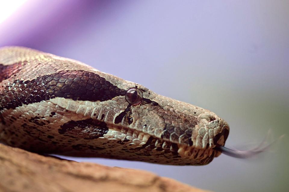 Snakes, like the red-tail boa constrictor pictured, evolved from species that survived the asteroid that killed the dinosaurs.