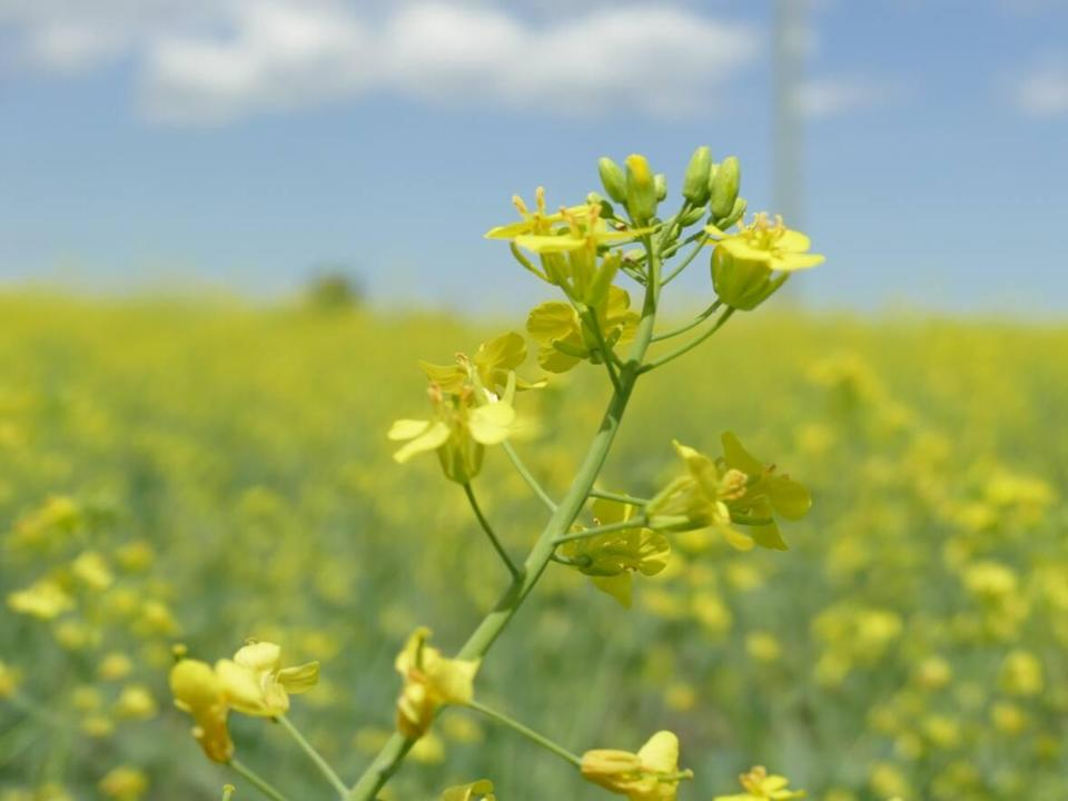 Hot dry weather, followed by rainfall led canola and some other crops to resprout in fields across Saskatchewan this fall.   (Riley Laychuk/CBC - image credit)