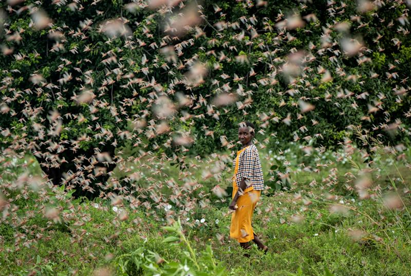 A farmer looks back as she walks through swarms of desert locusts feeding on her crops, in Katitika village, Kitui county, Kenya, Friday, Jan. 24, 2020. Desert locusts have swarmed into Kenya by the hundreds of millions from Somalia and Ethiopia, countries that haven't seen such numbers in a quarter-century, destroying farmland and threatening an already vulnerable region.