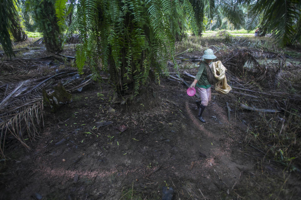 A woman spreads fertilizer in a palm oil plantation in Sumatra, Indonesia, Nov. 14, 2017. A half-century ago, palm oil was just another commodity that thrived in the tropics. Many Western countries relied on their own crops, like soybean and corn for cooking, until major retailers discovered the cheap oil from Southeast Asia had almost magical qualities. (AP Photo/Binsar Bakkara)