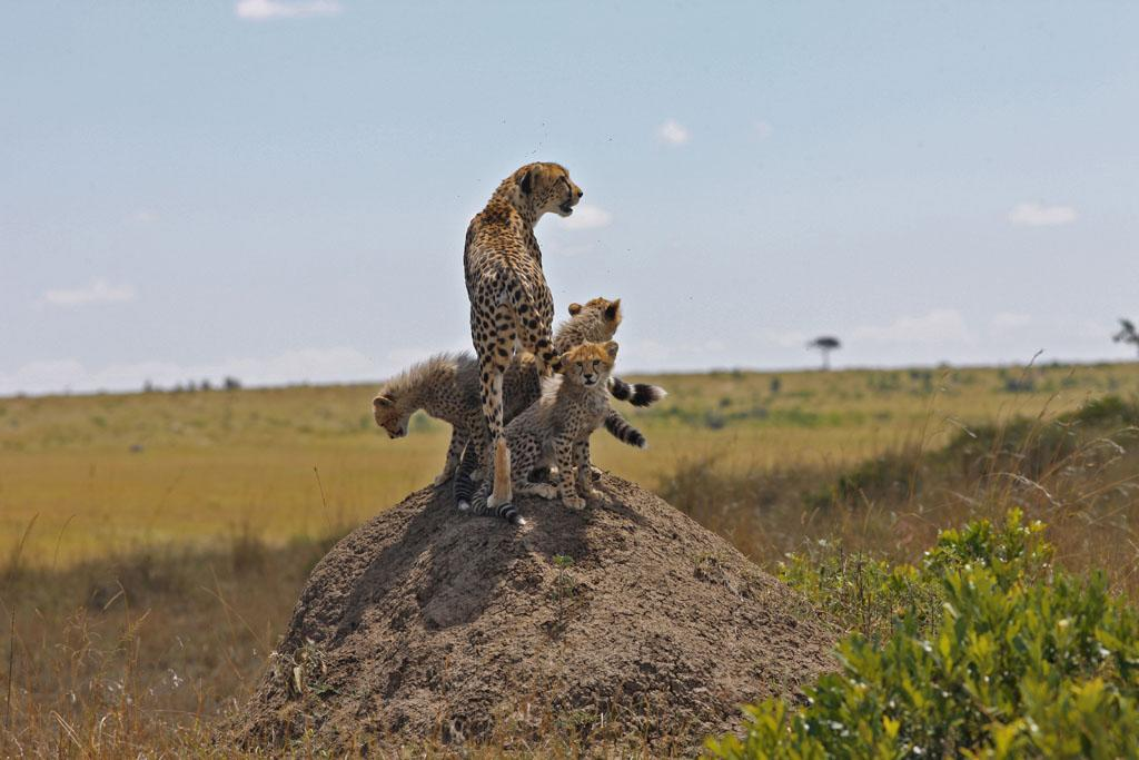 Serengeti/Massai Mara - The young cheetah  with her four cubs. They are born blind and helpless and need the protection of their mother.