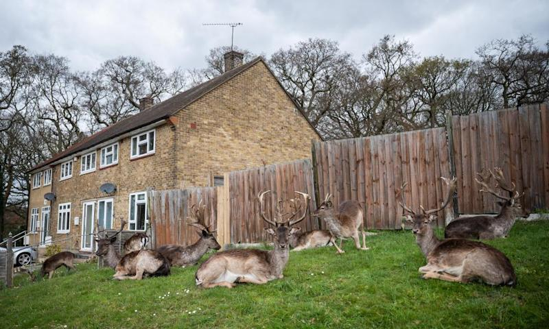 Deer near houses