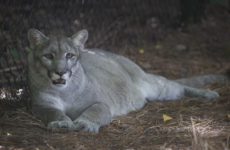 The Florida panther is among the endangered species further threatened by climate change, a study says.