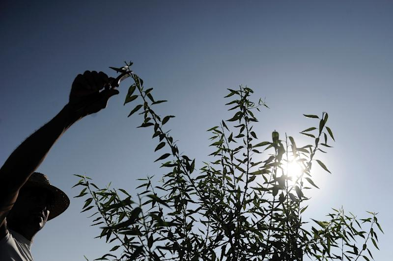 It's a record year for almond production in Spain (AFP Photo/CRISTINA QUICLER)